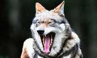 Wolfsrüde GW852 hat einen Ausflug ins Münstertal gemacht