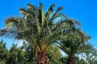 Die Basler Merian Gärten verschenken drei Palmen