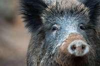 Wild ist keine wirkliche Alternative zu Huhn, Schwein und Rind