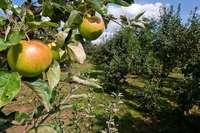 Obst kann auf dem Weg vom Ast zur Erde den Besitzer wechseln