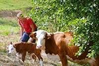 Eine Käserei in Böllen macht Bio-Käse aus Milch von Hinterwälder Kühen