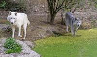 Wölfe haben im Basler Zoo ausgeheult