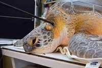 Tierklinik entfernt Speer aus Schildkröte in Florida
