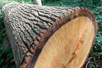 Baumfällung am Keidel-Bad: OB Horn steckt in der Zwickmühle