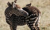 Gepunktetes Zebra-Fohlen gesichtet