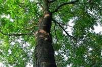Der Götterbaum ist gekommen um zu bleiben