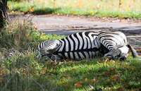 Zirkus-Zebra Pumba büxt aus – und wird erschossen