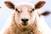 Polizei befreit Schaf aus Brombeerstrauch