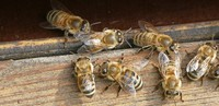 Veto für mehr Bienenschutz
