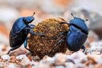 Arznei-Rückstände in Kuhfladen setzen Insekten zu