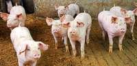 Schweinefleisch ist teurer geworden