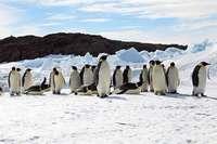 Klimawandel treibt Kaiserpinguine dem Aussterben entgegen