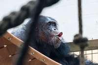 Schimpansen und Okapis bekommen Nachwuchs