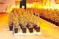 Foto einer Offenburger Cannabisplantage taucht in Ibiza-Affäre auf