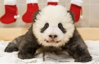 Berliner Pandababys feiern Nikolaus