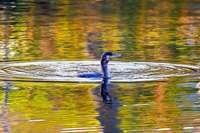 Ein Kormoran im Staufener Stadtsee
