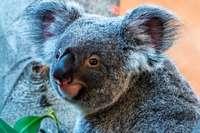Buschfeuer bedrohen die Koalas