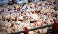 Geflügelbranche ziert sich