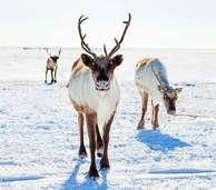 Rudolphs Freunden geht es gut: Rentier-Population erholt sich