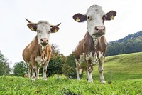 Futtermittelzusatz vom DSM soll Methan-Ausstoß von Kühen verringern