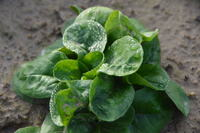 Wo Feldsalat wächst, wie man ihn zubereitet und frisch hält