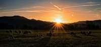 Grasende Schafe auf den Elzwiesen bei Emmendingen