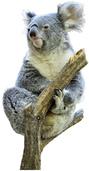 Zoos im Land wollen Koalas helfen