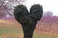 Bei Königschaffhausen steht ein Efeu-Herz