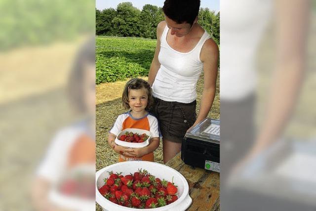 Mit der Sonne kommen auch wieder Erdbeerpflücker