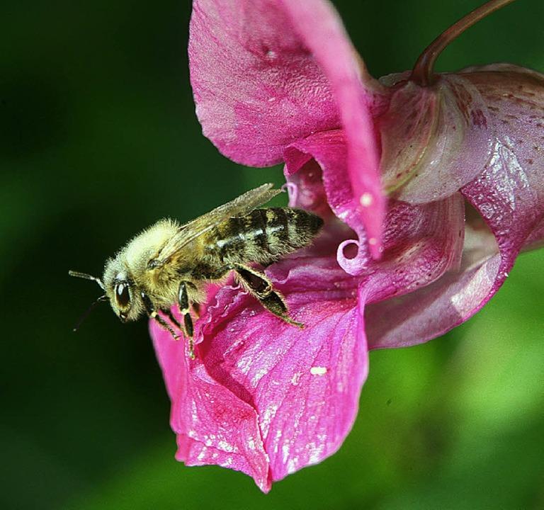 Bienen sind auf das Indische Springkraut angewiesen.   | Foto: dpa