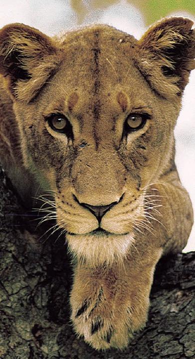 Wachsame Löwin, dösendes Flusspferd: I...leben fast 800 verschiedene Tierarten.    Foto: ddp/dpa
