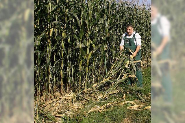 Für Wildtiere ist Mais ein gefundenes Fressen