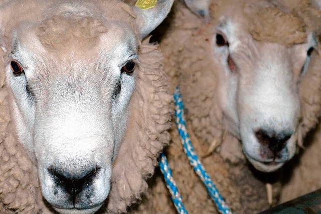 Dieb klaut in Kappel zwei Merino-Schafe
