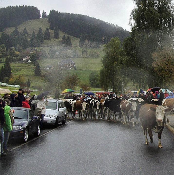 Für 82 Rinder endete am Samstag die Weidezeit.   | Foto: Tina Hättich