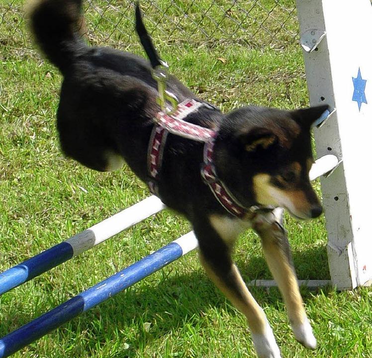 Auf dem Gelände der Hundefreunde Laufe...cher Hund gerne auch zum Hürdenläufer.  | Foto: Andreas Ungerer