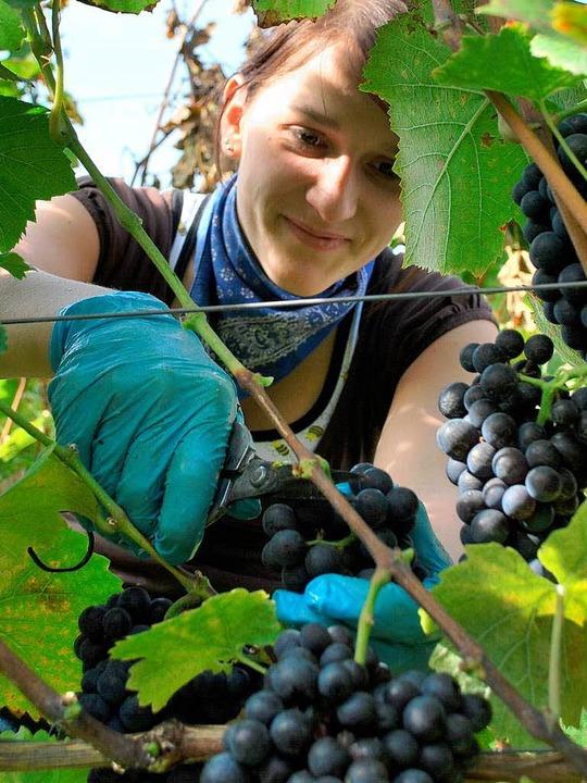Über 90 Prozent der Trauben sind am Kaiserstuhl bereits gelesen.  | Foto: Benjamin Bohn