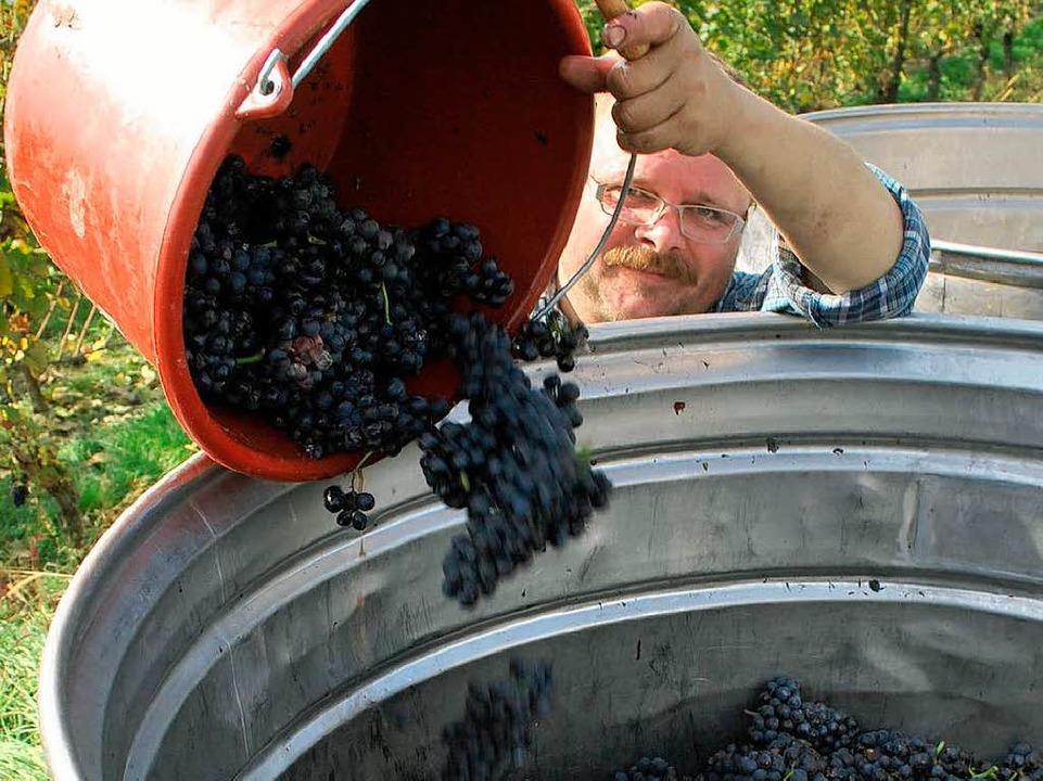 Spätburgunder-Trauben werden in den Bottich geschüttet.  | Foto: Benjamin Bohn