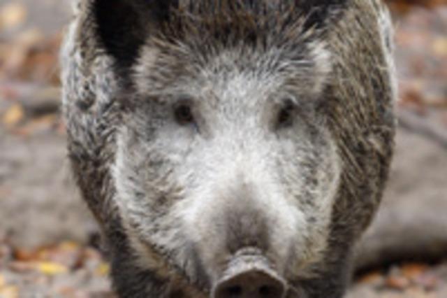 Schweine vermehren sich wie wild