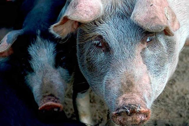 170 Schweine auf engstem Raum