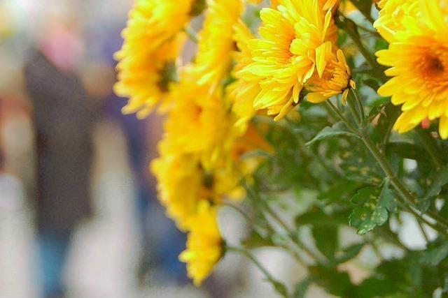 Chrysanthema in Lahr legt Endspurt hin