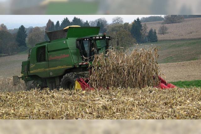 Für Mais geht der Preis nach unten