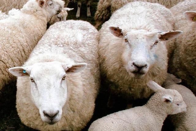 Polizei muss Schafe hüten