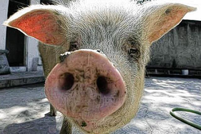China lernt vom Schwein