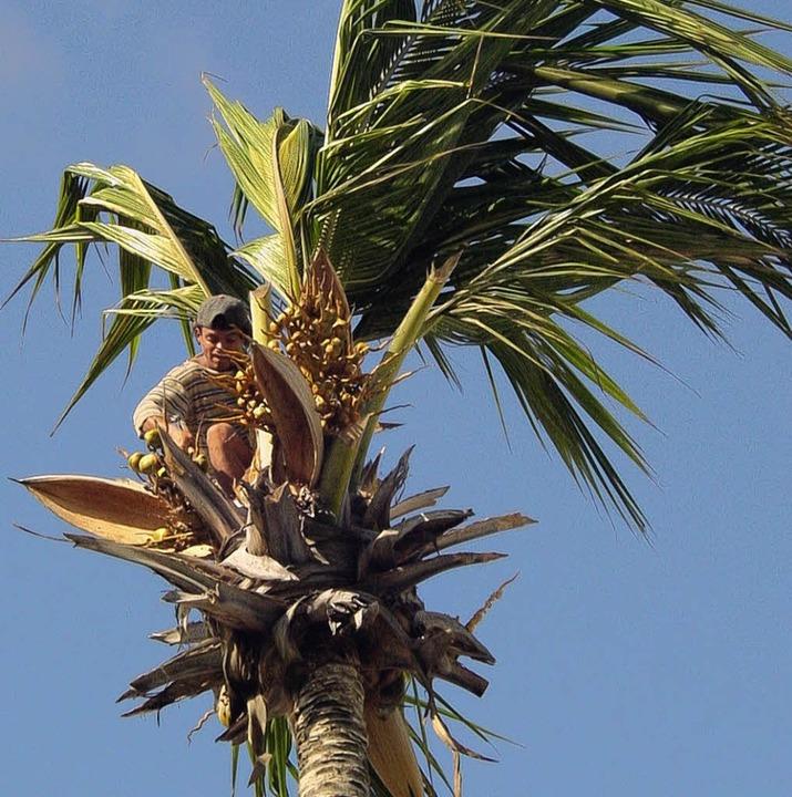 Schwindelfrei: Kokosnussernte in Brasilien.   | Foto: privat
