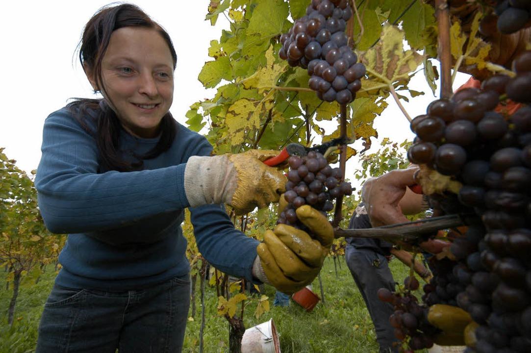 Eine tolle Qualität verspricht das Weinjahr 2008.  | Foto: Thomas Kunz