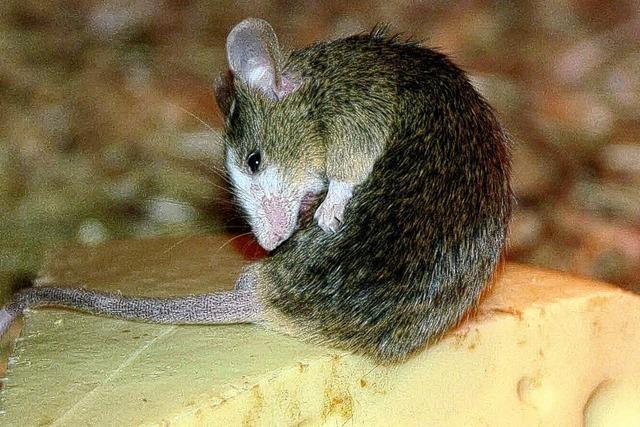 Anton, die kleine Maus