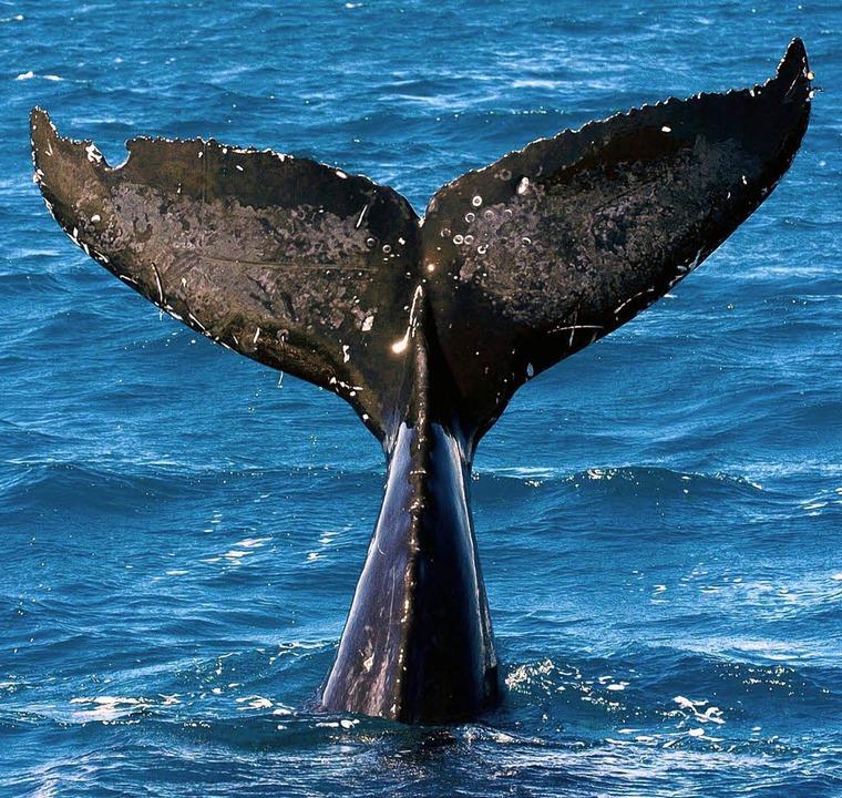 Riesig: die Schwanzflosse eines Wals   | Foto: dpa