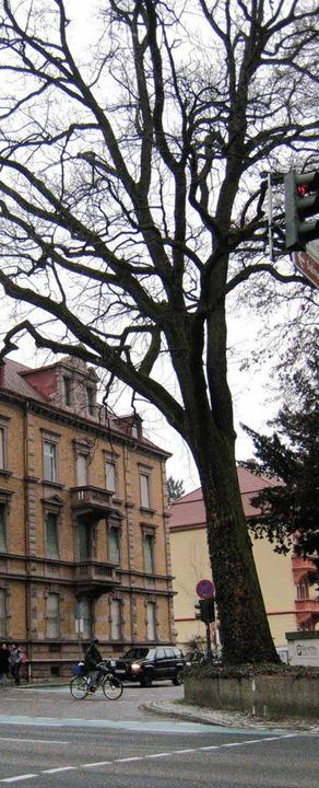 Die Roteiche an der Ecke Grabenallee/Z...straße kann nun doch erhalten werden.     Foto: Seller
