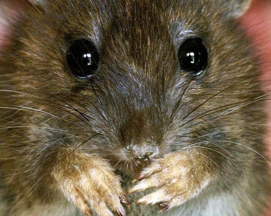 Ratten in Gefahr?    Foto: dpa