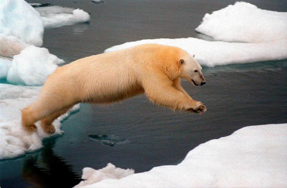 Und hopp: Dieser Eisbär in der Arktis ... von einer Eisscholle auf eine andere.  | Foto: dpa